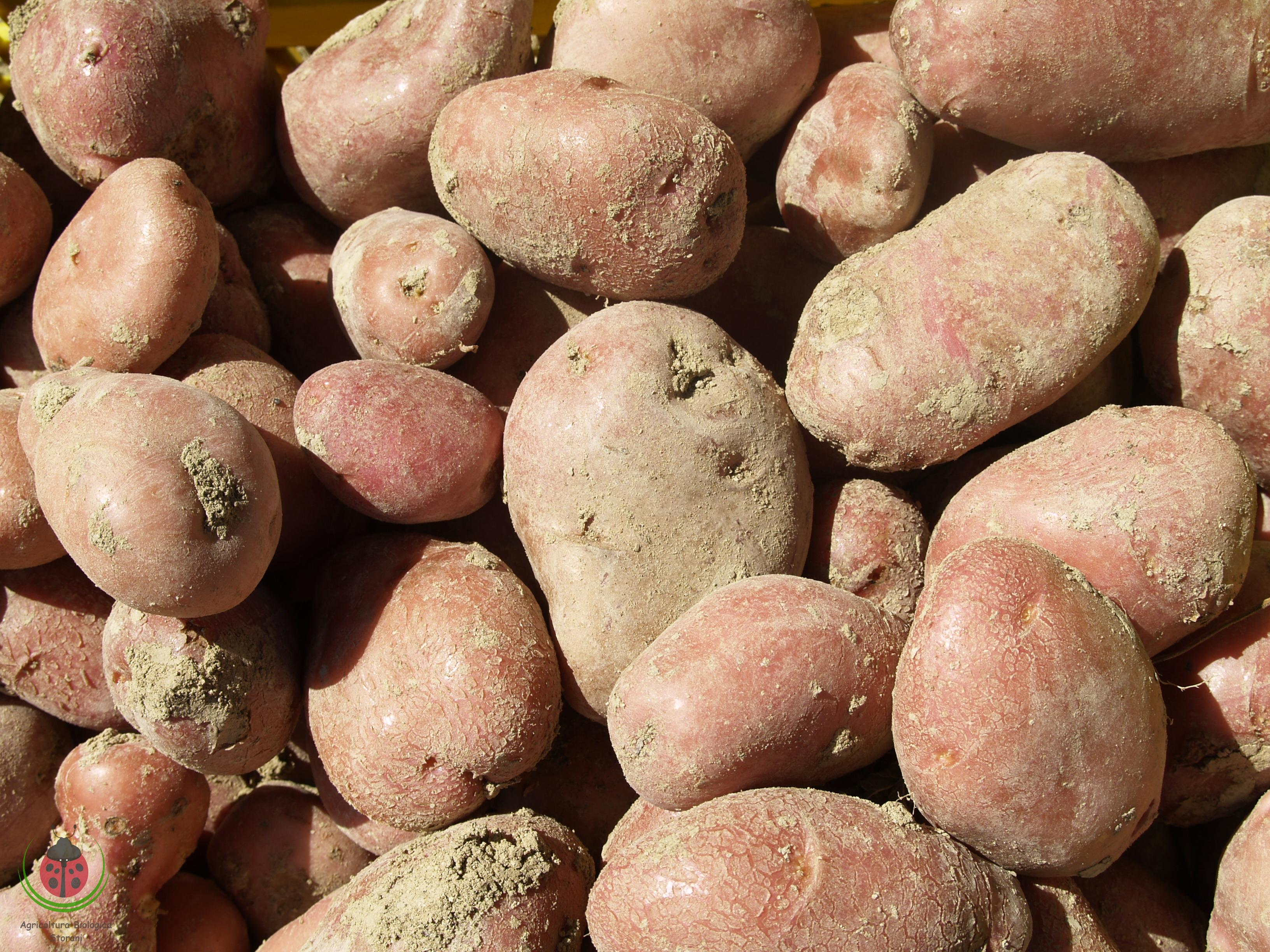 La raccolta delle patate 2014 agricoltura biologica storani for Raccolta patate